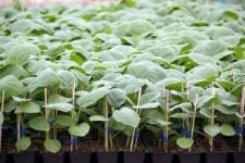 Особенности урожайной рассады баклажан в Сибири: советы начинающим и опытным огородникам!