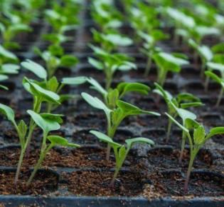 Особенности пикировки рассады капусты: лучшие способы пересадки