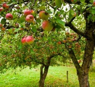 Правильная обработка и уход за садовыми деревьями после сбора урожая в августе