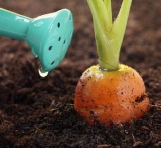 Подкормка моркови в открытом грунте: когда и как следует удобрять