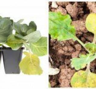 Основные причины почему у рассады капусты сохнут и вянут листья: разбираем ошибки