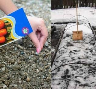 Секреты посадки моркови осенью под зиму – советы специалистов