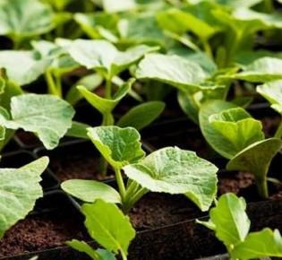 Как вырастить рассаду кабачков в домашних условиях