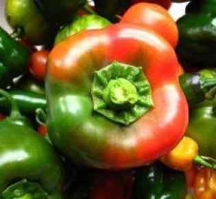 Болгарский перец на рассаду: выращивание в домашних условиях