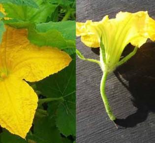 Почему на кабачках много пустоцвета: разбираем причины