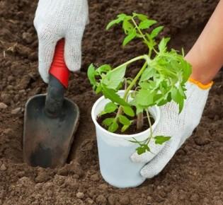 Томаты на грядке: когда сажать помидоры –  точный расчет и народные приметы