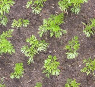 За сколько дней всходит морковь при правильной посадке? Советы экспертов и основные ошибки огородников