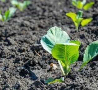 Если ваша рассада капусты плохо растет, узнайте что делать и чем подкормить