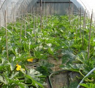Выращивание кабачков в теплице: преимущества и технология посадки