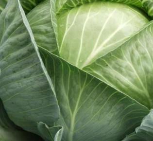 Безрассадное выращивание белокочанной капусты
