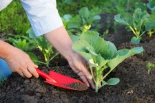 Посадка семян и рассады кольраби в открытый грунт