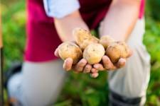 Правильно собираем урожай картофеля