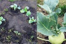 Как вырастить кольраби из рассады