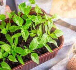 Основные правила ухода за рассадой перца: в теплице и грунте