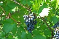 Описание сортов винограда с фото