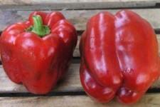 300 сортов болгарского перца: описание, характеристики и советы по выбору