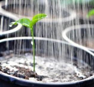 Как правильно поливать рассаду перца: полезные советы