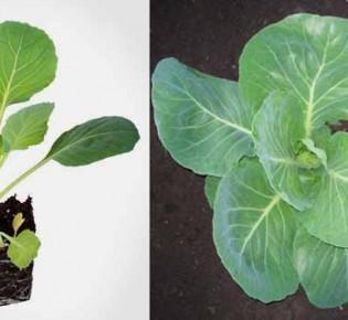 Оптимальное время для посева капусты на рассаду в Сибири
