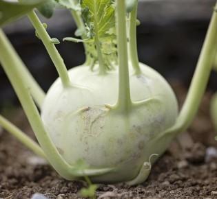 Как правильно сажать капусту кольраби