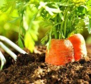 Эффективный метод выращивания семян моркови в клейстере, полное руководство к действию!