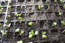 Выясняем почему желтеют листья у рассады капусты: что делать и какие меры профилактики?