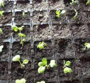 Выясняем почему желтеют листья у рассада капусты: что делать и какие меры профилактики?