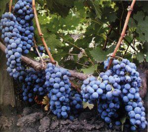 виноград сорт Каберне Совиньон
