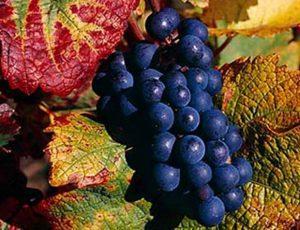 виноград сорт Пино черный