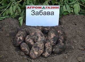 Забава сорт картофеля