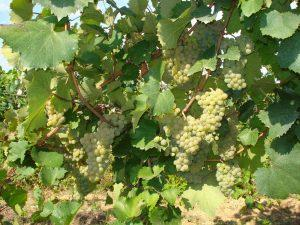 виноград сорт Алиготе
