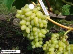 сорта винограда для подмосковья