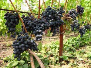виноград кишмиш Черный палец