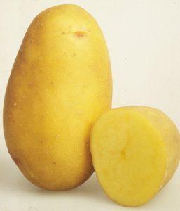 сорт картофеля колета