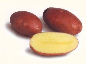 Розара сорт картофеля