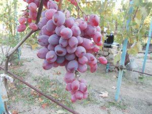 виноград сорт Вислоухий
