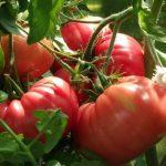 томаты розовые сорта