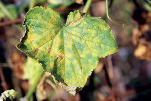 почему желтеют листья у огурцов на грядке