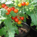 сорта томатов открытый грунт