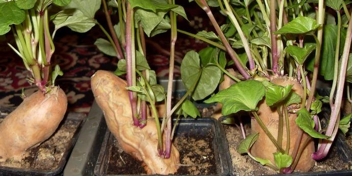 батат выращивание в украине фото