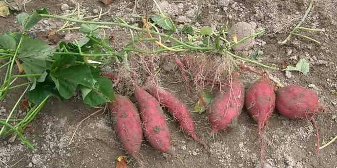 сладкий картофель батат