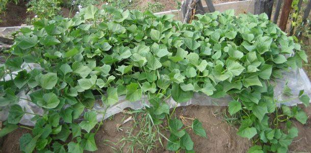 ипомея батат выращивание