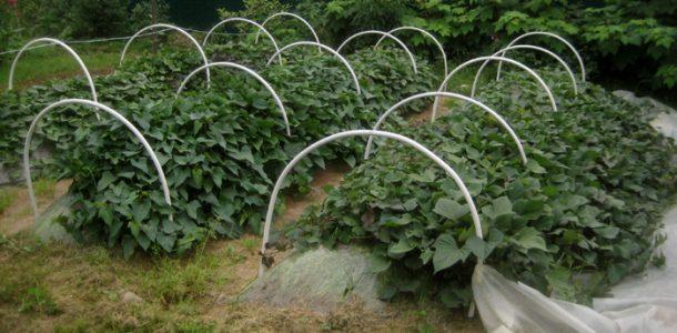 батат выращивание в средней полосе
