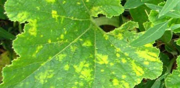 болезни кабачков в открытом грунте