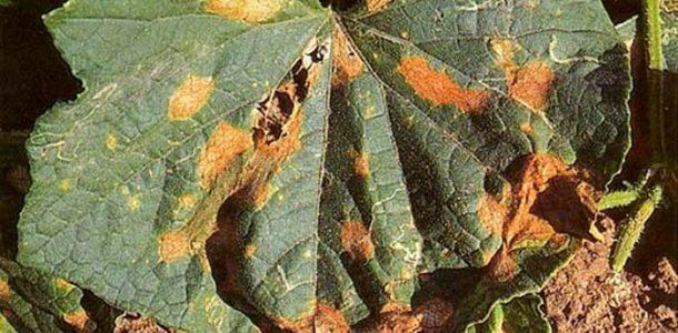 болезни кабачков