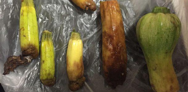 болезни и вредители кабачков фото