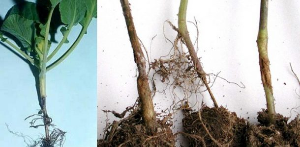 Черная ножка болезнь рассады капусты