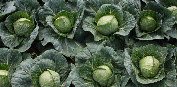 выращивание капусты безрассадным способом