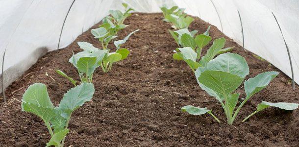выращивание капусты без рассады