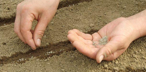 майоран выращивание рассады