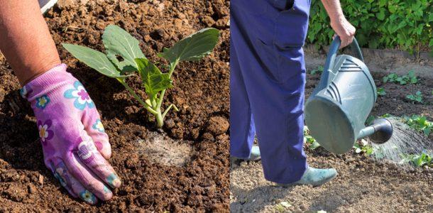 условия выращивания пекинской капусты